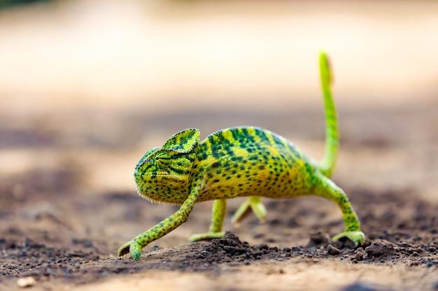 Groen kameleon india Premium Foto