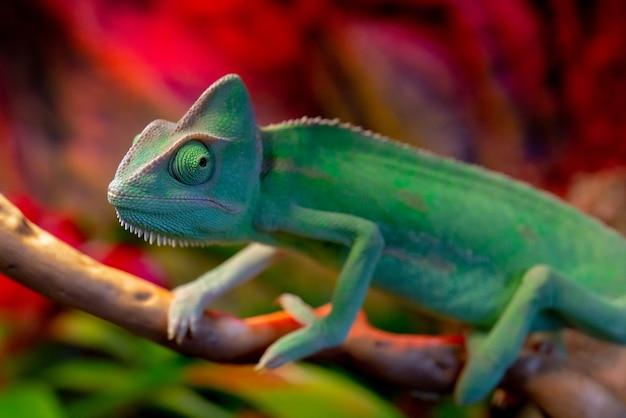 Groen kameleon op de tak. Premium Foto