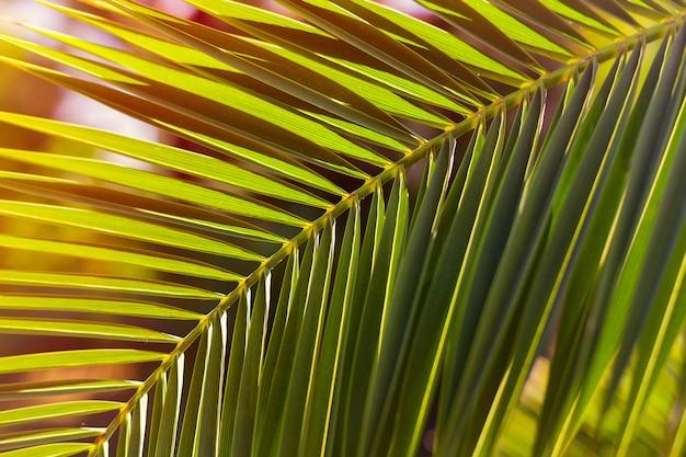 Groen palmblad op een zonsondergangzonlicht. achtergrond. Premium Foto