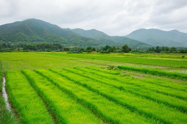 Groen veld van rijstplant met water Premium Foto