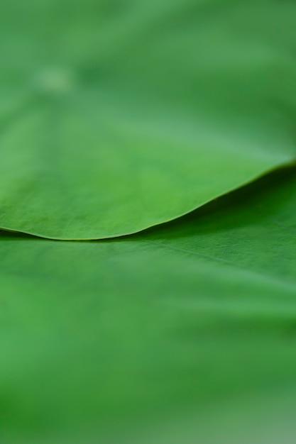 Groene achtergrond van lotusbloemblad door selectieve nadruk te schieten Premium Foto