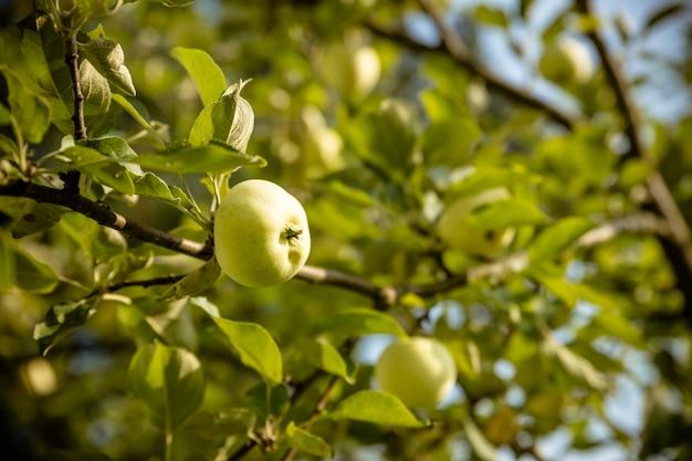Groene appels op een tak klaar om te worden geoogst. rijpe smakelijke appel op boom in zonnige de zomerdag. Premium Foto