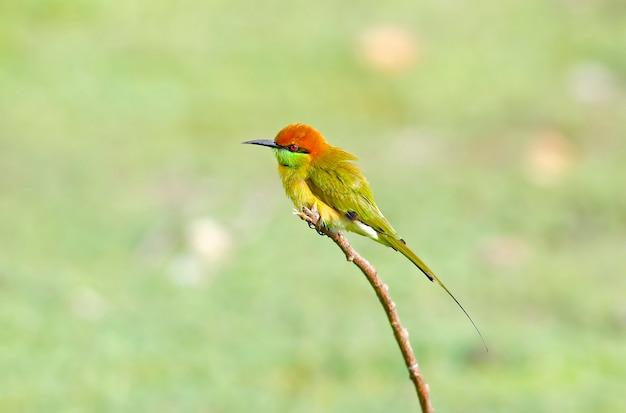 Groene bijeneter merops orientalis mooie vogels van thailand Premium Foto