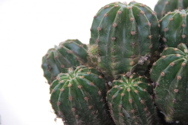 Groene cactus op witte achtergrond Premium Foto