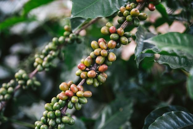 Groene en rode arabica-koffiebessen van koffieboom in het akha-dorp van maejantai op de heuvel in chiang mai, thailand. Premium Foto