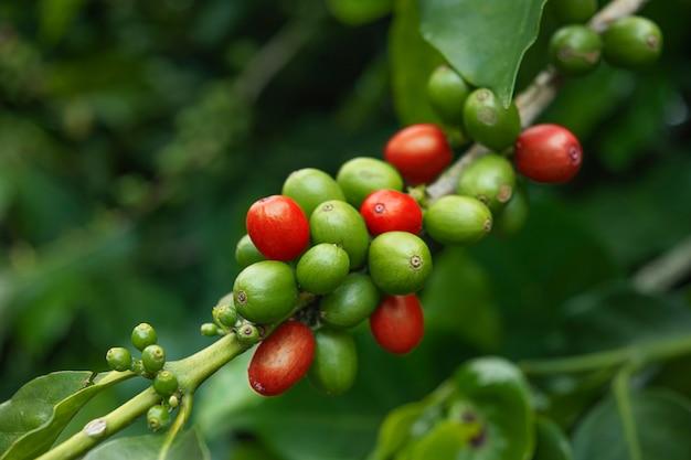 Groene en rode koffiebonen Premium Foto