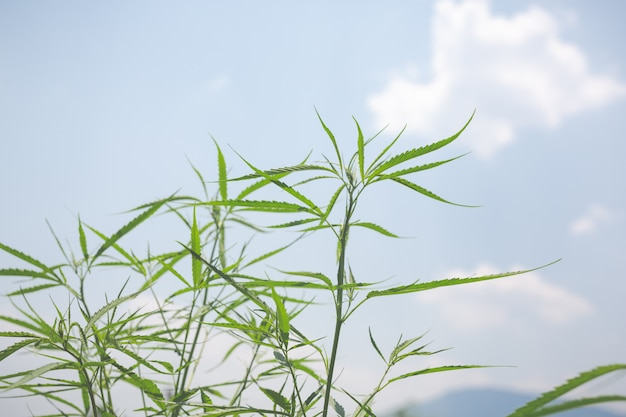 Groene marihuana achtergrond. Gratis Foto