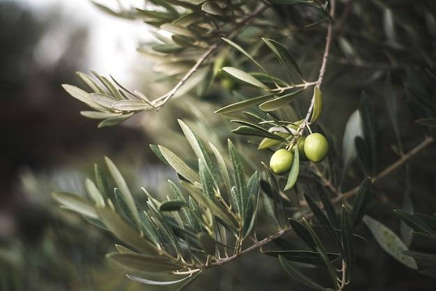 Groene olijfboom in marokko Premium Foto
