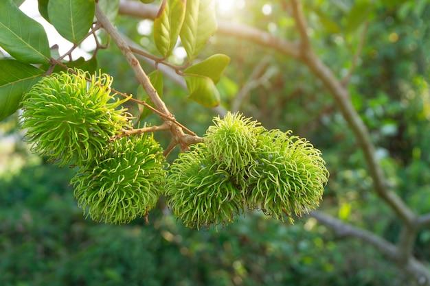Groene rambutan die nog niet rijp is aan boom. Premium Foto