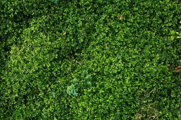 Groene selaginella-varens van aarmoss achtergrondvarens groeien in regenwoud. Premium Foto