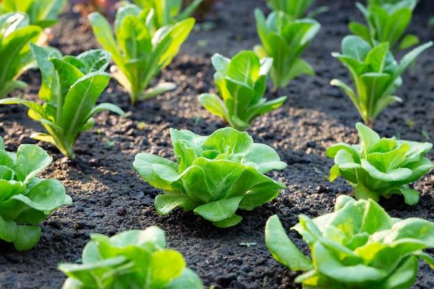 Groene sla in het plantaardige perceel Premium Foto