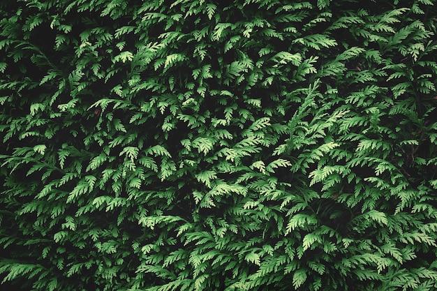 Groene spar achtergrondstructuur. natuur achtergrond behang Premium Foto