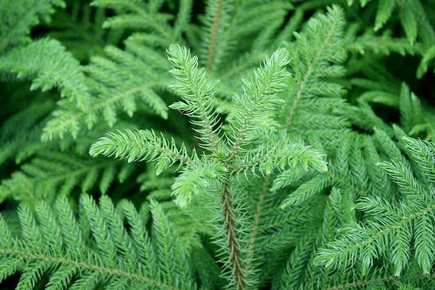 Groene stekelige takken van een bontboom of een den Premium Foto
