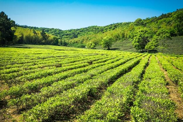 Groene thee tuin, heuvel teelt Gratis Foto