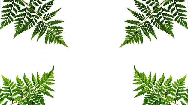 Groene varenbladeren die op witte achtergrond worden geïsoleerd Premium Foto