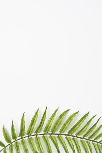 Groene varenbladeren onderaan de witte achtergrond Gratis Foto