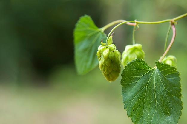 Groene verse hopbellen voor het maken van bier en broodclose-up, landbouwachtergrond. Premium Foto