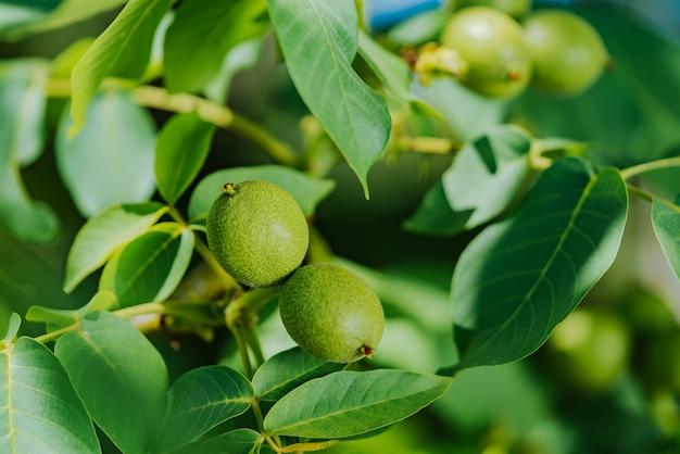 Groene vrucht van de walnoot op de tak Premium Foto