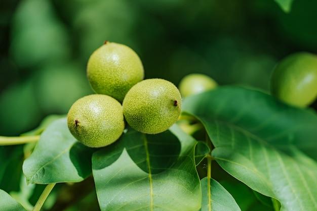 Groene walnoten groeien op een boom, close-up Premium Foto