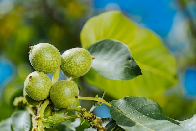 Groene walnoten jonge vruchten rijpen aan de boom met bladeren Premium Foto