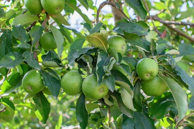 Groep die van groene appelen op de tak van appelboom in tuin hangen. Premium Foto