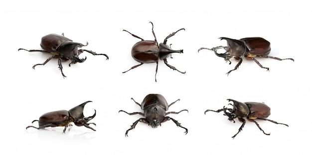 Groep dynastinae. insect. dier. dynastinae is vechter van de berg binnen uit thailand. Premium Foto