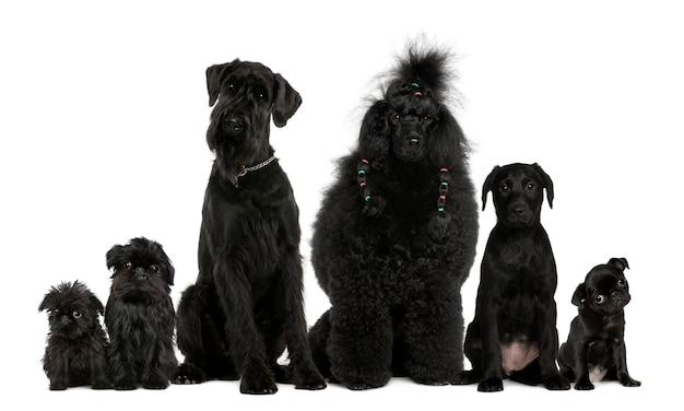 Groep honden, poedel, mopshond, griffon bruxellois en een gemengd ras Premium Foto