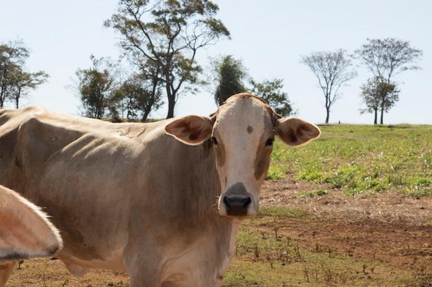 Groep koeien op de boerderij Premium Foto