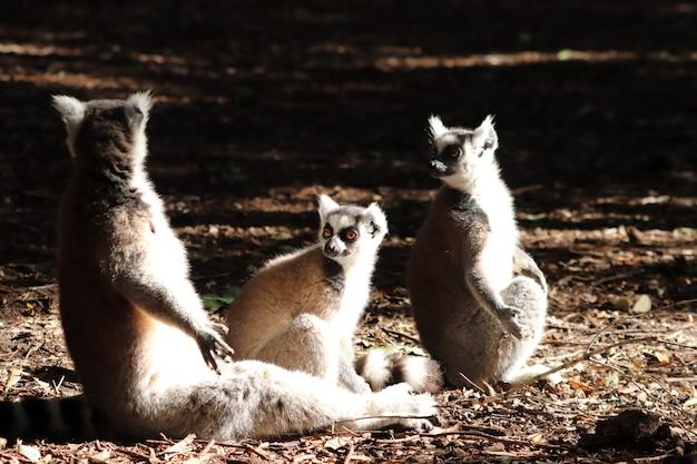 Groep maki's die op de modderige grond in het midden van een bos zitten Gratis Foto