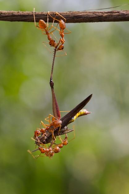 Groep mieren die een dode sprinkhaan voor het eten dragen Premium Foto