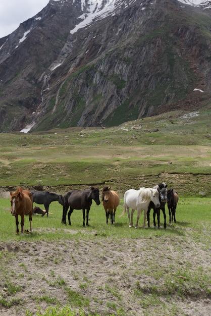 Groep mooi paard in weide, jammu-kashmir, noord-india Premium Foto
