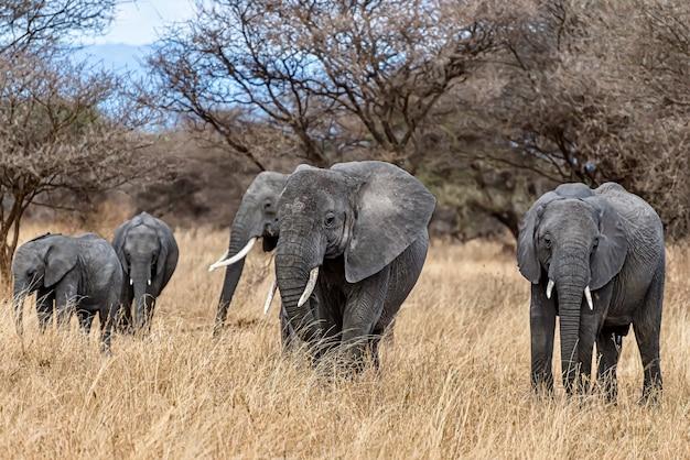 Groep olifanten lopen op het droge gras in de wildernis Gratis Foto