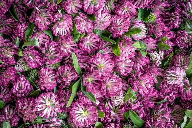 Groep roze klaverbloemen Premium Foto