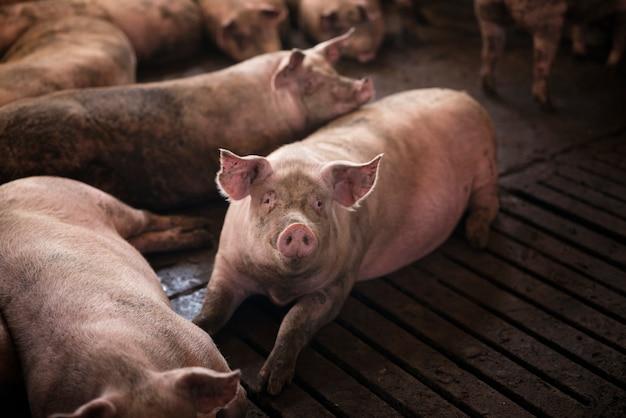 Groep varkens huisdieren bij varkensboerderij Gratis Foto
