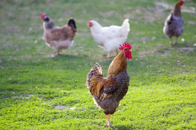Groep volwassen gezonde witte kippen en grote bruine haan die op vers eerste groen gras buiten op de lentegebied voeden op heldere zonnige dag. kippenhouderij, gezond vlees en eierenproductieconcept. Premium Foto