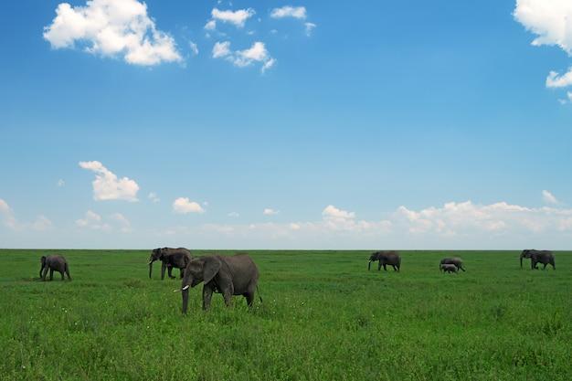 Groep wilde afrikaanse olifanten in savanne Premium Foto