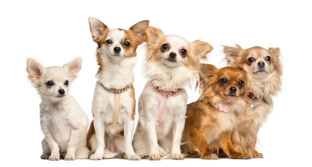 Groep zitting chihuahua die op wit wordt geïsoleerd Premium Foto
