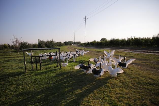 Groep zwanen loopt in het veld Gratis Foto