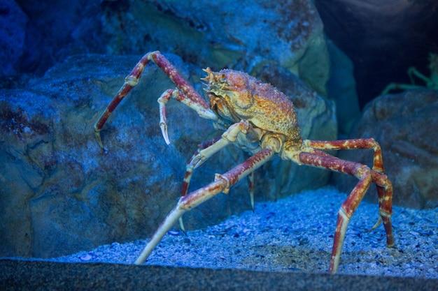 Grote krab die een steen in tank beklimmen Premium Foto
