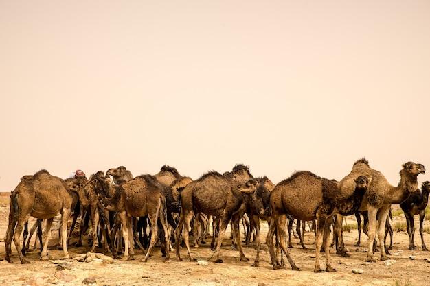 Grote kudde kamelen die zich op de zanderige grond van een woestijn bevinden Gratis Foto