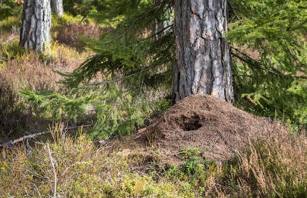 Grote mierenhoop in het dennenbos in de lente, vernietigd door groene specht op jacht naar voedsel in de winter Premium Foto
