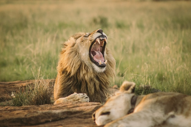 Grote op de grond en leeuw die geeuwen geeuwen Gratis Foto