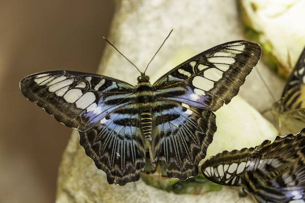 Grote vlinder met zwarte blauwe en witte vleugels zittend op een steen Gratis Foto