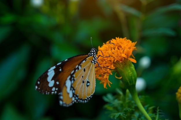 Grote vlinder zittend op mooie gele bloem anemonen verse lente ochtend op aard Gratis Foto