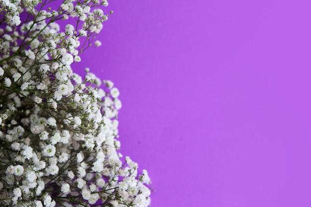 Gypsophila-bloemen op een lila achtergrond. Premium Foto