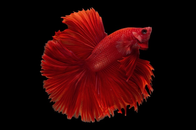Halfmoon betta fish Gratis Foto