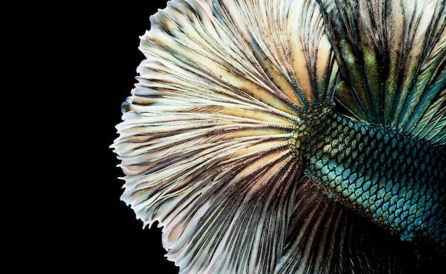 Halfmoon betta vis, siamese vechten vis, betta splendens Premium Foto