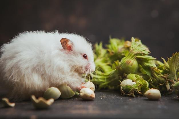 Hamster die hazelnoot op donkerbruin eet. horizontaal Gratis Foto