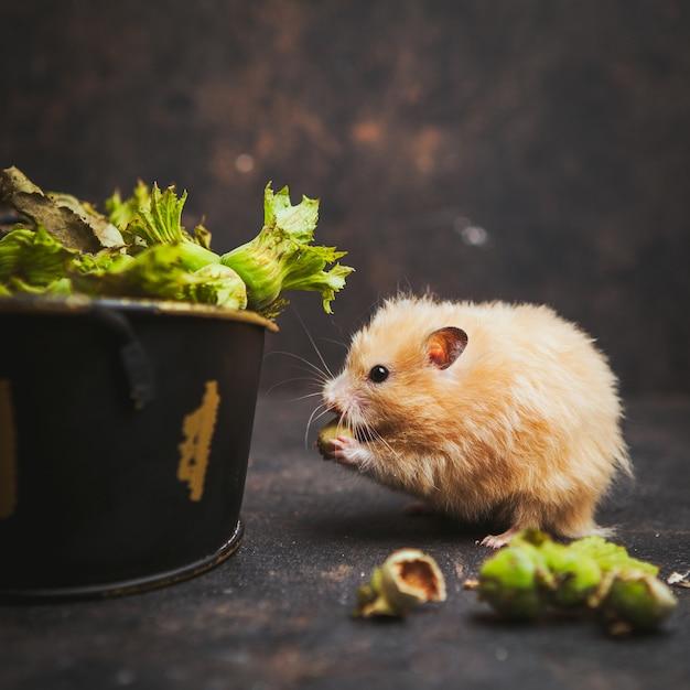 Hamster die hazelnoot zijaanzicht over donkerbruin eten Gratis Foto