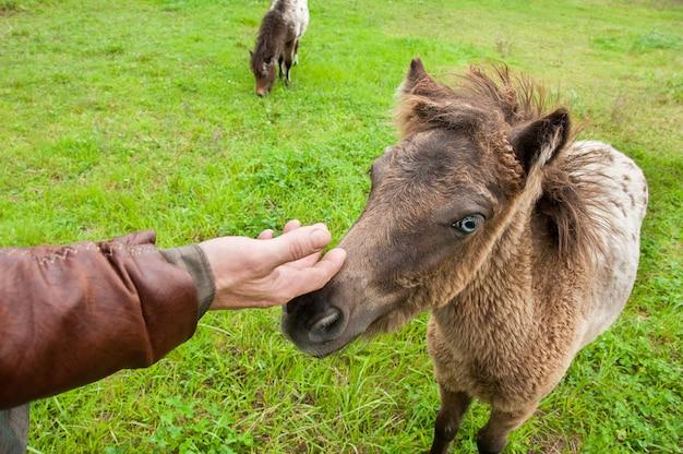 Hand aaien een schattige pony. Premium Foto